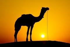 Silhouetkameel bij zonsondergang, India. Stock Afbeelding