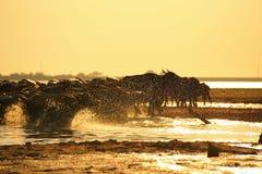 Silhouetmening van buffels Stock Afbeeldingen