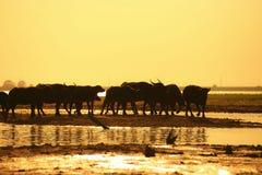 Silhouetmening van buffels Royalty-vrije Stock Foto's