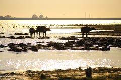 Silhouetmening van buffels Stock Fotografie
