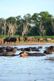 Silhouetmening van buffels Stock Foto