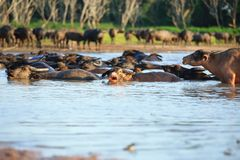Silhouetmening van buffels Royalty-vrije Stock Foto