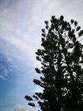 Silhouette pine tree Stock Photos