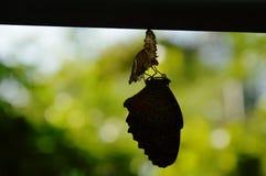 Silhouette метаморфоза бабочки от кокона и подготовьте к летать на алюминиевую бельевую веревку в саде Стоковая Фотография RF