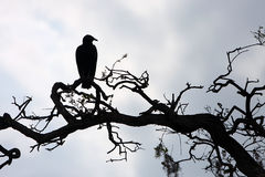 Silhouette. Of a Black Vulture perching on a tree branch.  Myakka River State Park in Florida Royalty Free Stock Photos