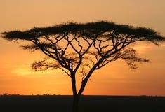 Silhouette of Acacia stock image