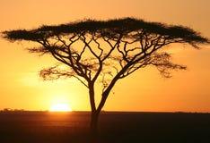 Silhouette of Acacia stock photos