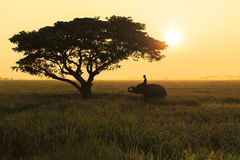 Silhouette action of elephant in rice field at sunset ,Surin,Tha Stock Image
