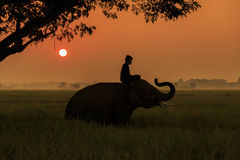 Silhouette action of elephant in Surin province, thailand
