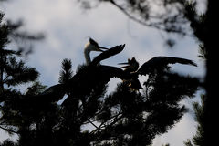 Silhouette of adult and juvenile Grey Herons at the pine tree Stock Photo