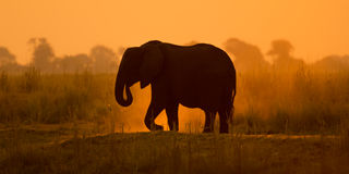 Silhouette of a african elephant Royalty Free Stock Photography