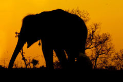 Silhouette of african elephant. Against orange dusk dawnwith tree Royalty Free Stock Photo