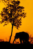 Silhouette of african elephant. Against orange dusk dawnwith tree Stock Photography