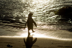 Silhouette of African penguin on the beach Royalty Free Stock Photo