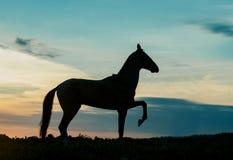 Silhouette of akhal-teke horse on sunset Royalty Free Stock Photos