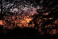 Silhouette of Albizia lebbeckSiris tree,Woman`s tongue,Mimosa lebbeck trees and twilight sky. Albizia lebbeckSiris tree,Woman`s tongue,Mimosa lebbeck is medium royalty free stock photo