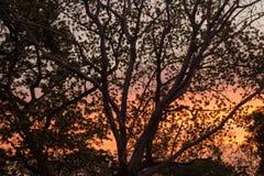Silhouette of Albizia lebbeckSiris tree,Woman`s tongue,Mimosa lebbeck trees and twilight sky. Albizia lebbeckSiris tree,Woman`s tongue,Mimosa lebbeck is medium stock images