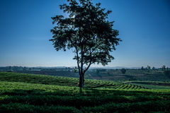 Silhouette alone tree on tea plantation field in the morning at Chiangrai Province, Northern Thailand. Stock Photography