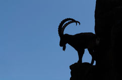 Silhouette of an alpine ibex. The silhouette of an alpine ibex Stock Image