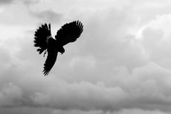 Silhouette of American Bald Eagle flying in Otavalo, Ecuador Stock Image