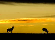 Silhouette of American Elk Stock Photos