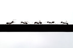 Silhouette of ant Royalty Free Stock Image