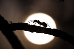 Silhouette of an ant walking on a branch Royalty Free Stock Photos