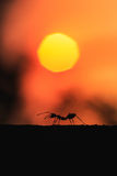 Silhouette of ant walking on the tree with sunset background Royalty Free Stock Images