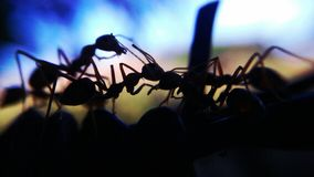silhouette ants on barb Royalty Free Stock Photo