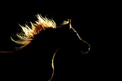 Silhouette Arabe de cheval sur le fond noir Photo libre de droits