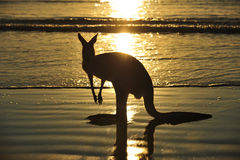 Silhouette australian kangaroo beach,mackay Stock Images