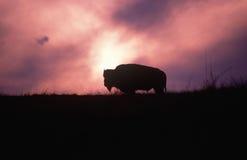 Silhouette av buffeln i fält på solnedgången Arkivbild