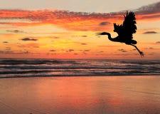 Silhouette av en blå Heron på soluppgången på strand Royaltyfri Fotografi
