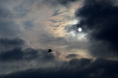 SeagullSilhouette Arkivfoto