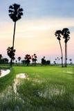 Silhouette av sockerpalmträdet på ricefält Royaltyfri Bild