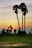Silhouette av sockerpalmträdet på ricefält Royaltyfri Fotografi
