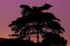 Silhouette av treen och den röda skyen Arkivbild