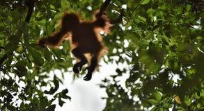 A silhouette of a baby orangutan in green krone of trees. Central Bornean orangutan  Pongo pygmaeus wurmbii  on the tree  in nat. Ural habitat. Tropical Royalty Free Stock Images