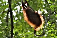 A silhouette of a baby orangutan in green krone of trees. Central Bornean orangutan  Pongo pygmaeus wurmbii  on the tree  in nat. Ural habitat. Tropical Royalty Free Stock Photo