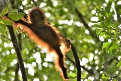 A silhouette of a baby orangutan in green krone of trees. Central Bornean orangutan  Pongo pygmaeus wurmbii  on the tree  in nat Stock Photography