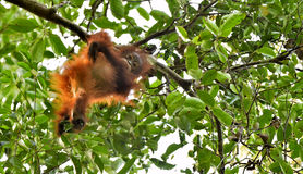 A silhouette of a baby orangutan in green krone of trees. Stock Photo