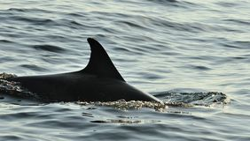 Silhouette of a back fin of a dolphin, swimming in the ocean an. D hunting for fish. The jumping dolphin comes up from water. The Long-beaked common dolphin ( stock photography