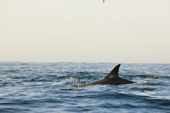 Silhouette of a back fin of a dolphin, swimming in the ocean  an Stock Image