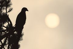 Silhouette of a bald eagle. The silhouette of an eagle perched in a tree stands out against the low sun in Coeur d`Alene, Idaho Stock Photo