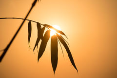 Silhouette Bamboo leaf and sunlight in evening time Royalty Free Stock Image