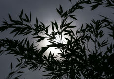 Silhouette of bamboo leaves against the Sun Royalty Free Stock Photos