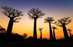 Silhouette Baobabs stock photography