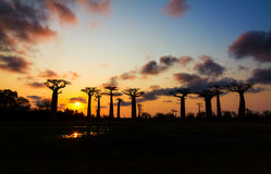 Silhouette baobabs sunset Royalty Free Stock Photography