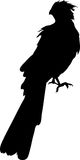 Silhouette of a bare-faced  go-away bird. Silhouette of a bare-faced go-away bird - digitally hand drawn vector silhouette, black isolated on white background Stock Photo