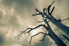 Silhouette of bare tree Royalty Free Stock Images